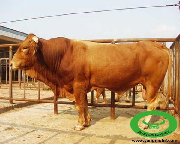 改良肉牛犊